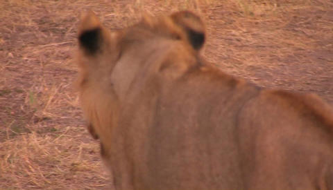 A young lioness walks across a dry field Stock Video Footage