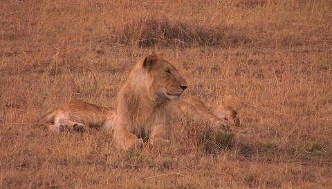 Two lions sit together, one looking around while the... Stock Video Footage