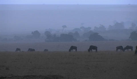 A herd of wildebeest graze in the rain Footage
