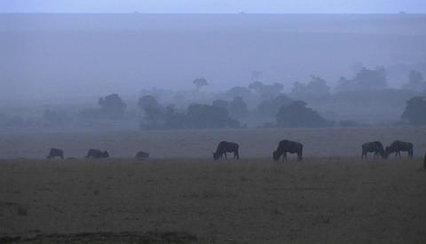 A herd of wildebeest graze in the rain Stock Video Footage