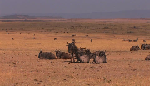 A herd of wildebeests are resting or grazing on the plains Stock Video Footage