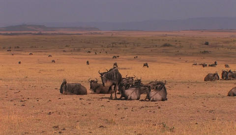 A herd of wildebeests are resting or grazing on the plains Footage