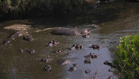 Hippos lay in the water Stock Video Footage
