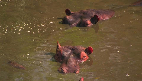 Two hippopotamuses lie submerged in the water, one flicks... Stock Video Footage