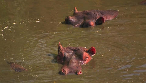 Two hippopotamuses lie submerged in the water, one flicks his ear and the other lifts his head as th Footage