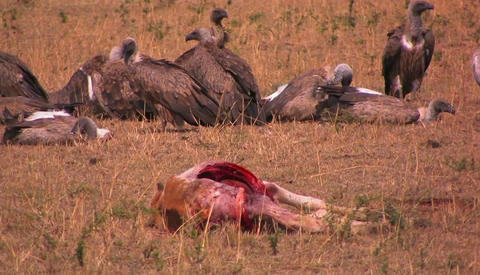 A flock of vultures rest after feasting on a carcass Stock Video Footage