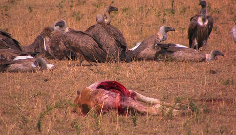 A flock of vultures rest after feasting on a carcass Footage