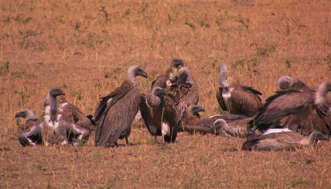 Some vultures rest others groom themselves after a big meal Footage