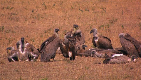 Some vultures rest others groom themselves after a big meal Stock Video Footage
