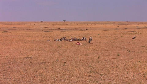 A group of vultures sit around after devouring most of a... Stock Video Footage
