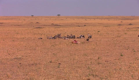 A group of vultures sit around after devouring most of a carcass Footage