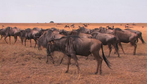 A heard of wildebeest travel a cross an open plain Stock Video Footage