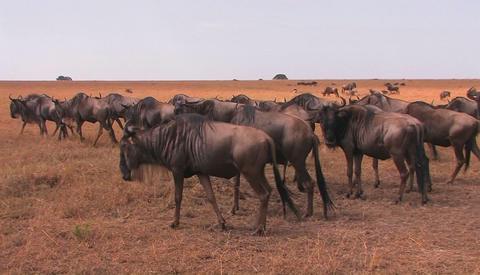 A heard of wildebeest travel a cross an open plain Stock Video Footage