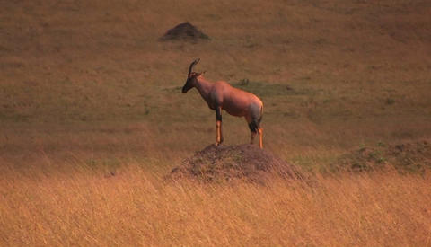 An antelope stands on top of a dirt mound staring ahead Footage