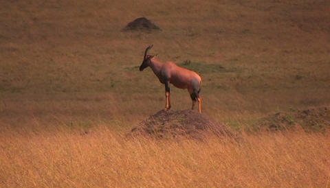 An antelope stands on top of a dirt mound staring ahead Stock Video Footage