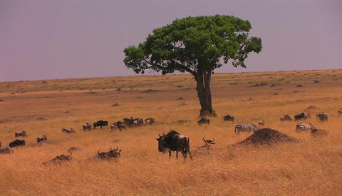 Zebras and wildebeest occupy a grassy plain Stock Video Footage