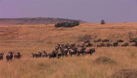 A herd of wildebeest walk through tall grass Stock Video Footage