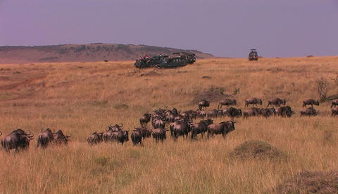 A herd of wildebeest walk through tall grass Stock Video Footage