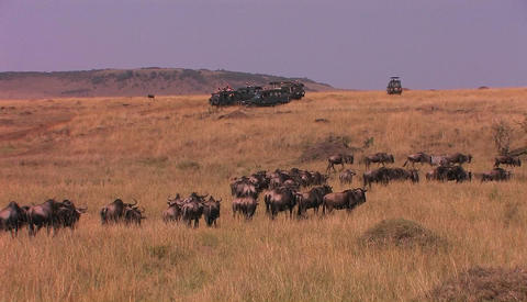 A herd of wildebeest walk through tall grass Footage
