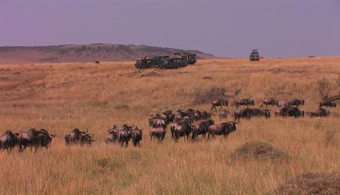 A herd of wildebeest walk through tall grass Footage