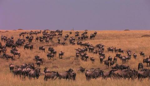 Massive herd of wildebeest roam a tall grass land area Stock Video Footage