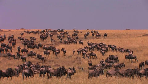 Massive herd of wildebeest roam a tall grass land area Stock Video Footage