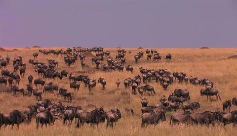 Massive herd of wildebeest roam a tall grass land area Footage