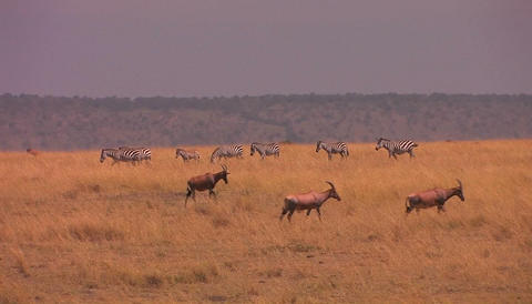 Wildebeests and zebras move across an African plain Stock Video Footage