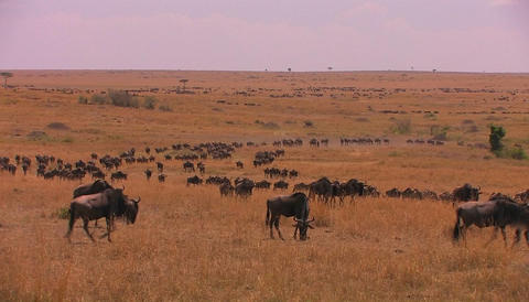 A large herd of wildebeest moves across a plain Stock Video Footage