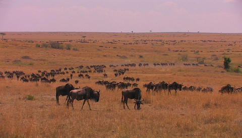 A large herd of wildebeest moves across a plain Footage