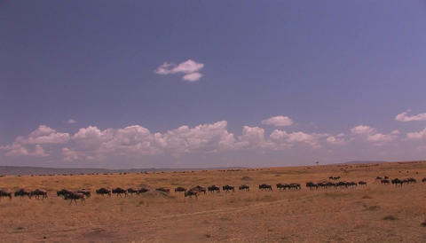 A herd of wildebeest cross an open grassland Stock Video Footage