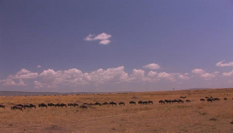 A herd of wildebeest cross an open grassland Footage