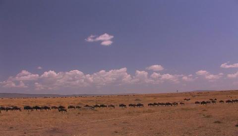 A herd of wildebeest cross an open grassland Stock Video Footage