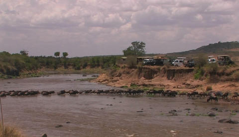 A herd of wildebeests crosses a stream, and cars are parked on the bank on the other side Footage