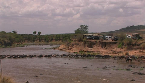 A herd of wildebeests crosses a stream, and cars are... Stock Video Footage