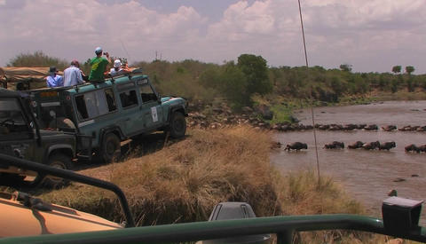 Tourists watch as a herd of wildebeest cross a river Footage