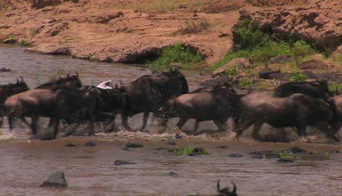 Wildebeest gallop out of the river they just crossed Footage