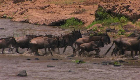 Wildebeest gallop out of the river they just crossed Stock Video Footage