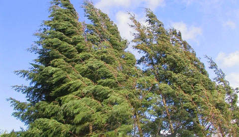 Tall trees sway from strong winds Stock Video Footage