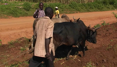 Oxen are being used to help pull a plow through a field, as people walk and ride motorbikes down a r Footage