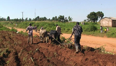 Three men and an ox plough crops in an African village Stock Video Footage