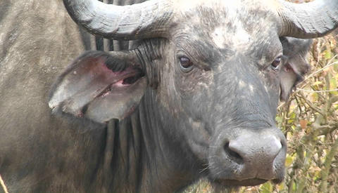 A buffalo blinking its eyes and looking around Stock Video Footage