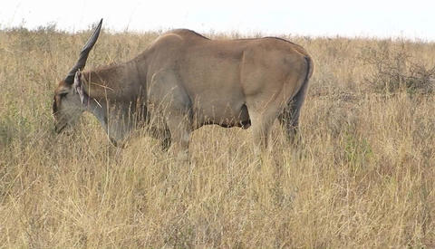 A wildebeest grazes on tall grass Stock Video Footage