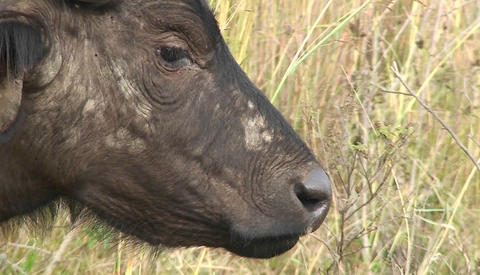 A wildebeest grazes on tall grass Stock Video Footage