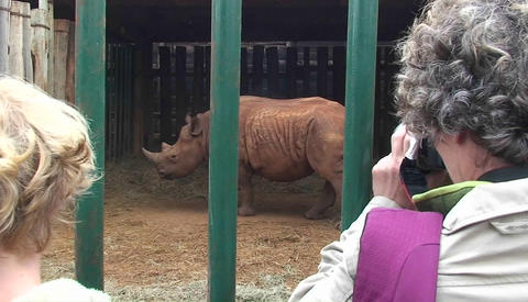Two women take pictures of a rhinoceros walking around in... Stock Video Footage