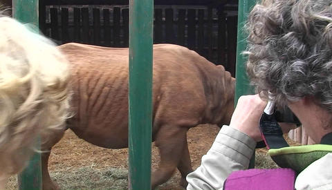 Two women take pictures of a rhinoceros walking around in a cage Footage