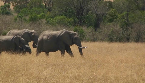 A herd of elephants walks along through a field of grass Stock Video Footage