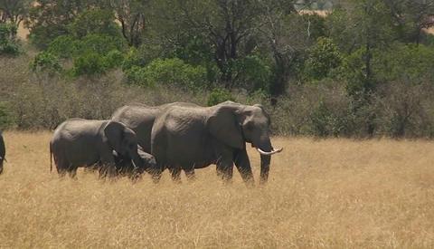 A herd of elephants walks along through a field of grass Footage