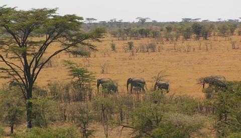 A herd of elephants walk in line across a hot bushy plain Footage
