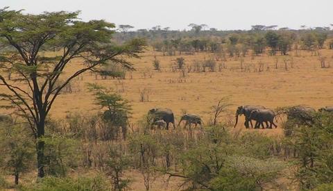 A herd of elephants walk in line across a hot bushy plain Stock Video Footage